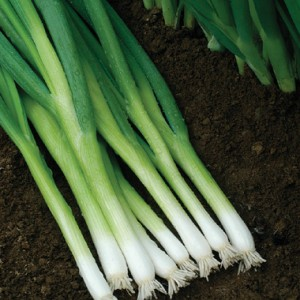 Spring Onion Escellion